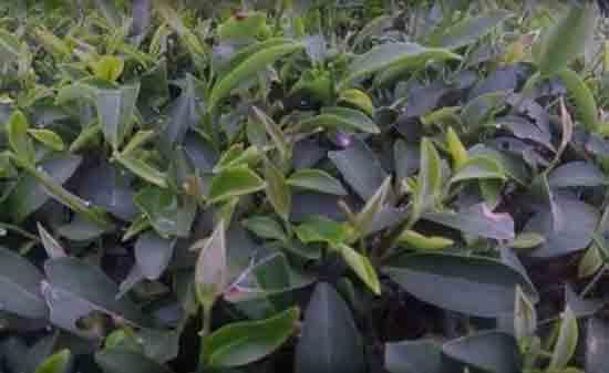 Черный и зеленый чай Дарджилинг