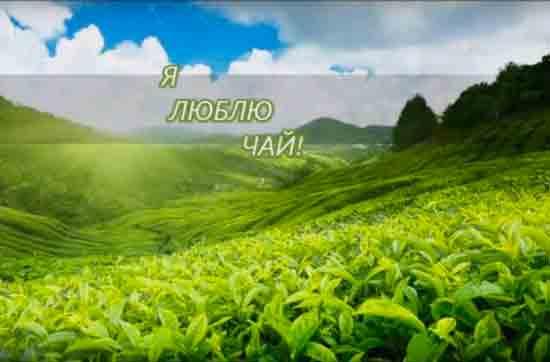 Где растет чай